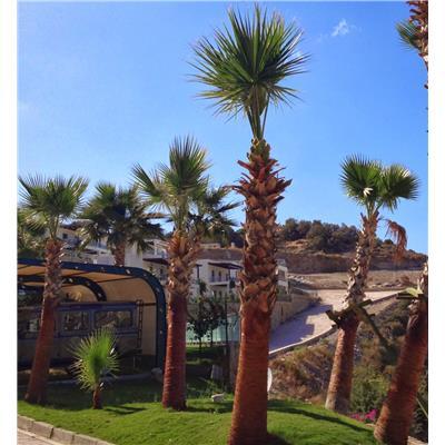 Best Palm Palmiye-Washingtonia Robusta Peyzaj